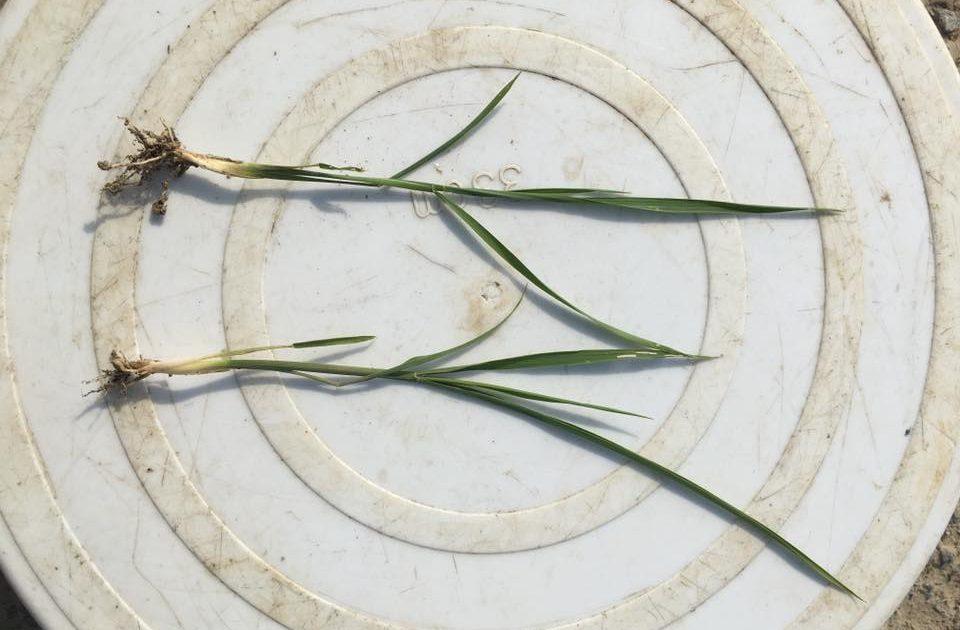 発芽した水稲苗の根の様子
