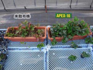 いちご親株APEX-10使用比較