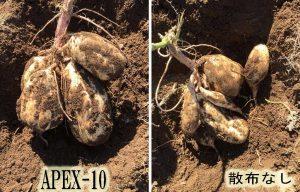 甘藷APEX-10比較